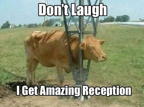 Cow - reception