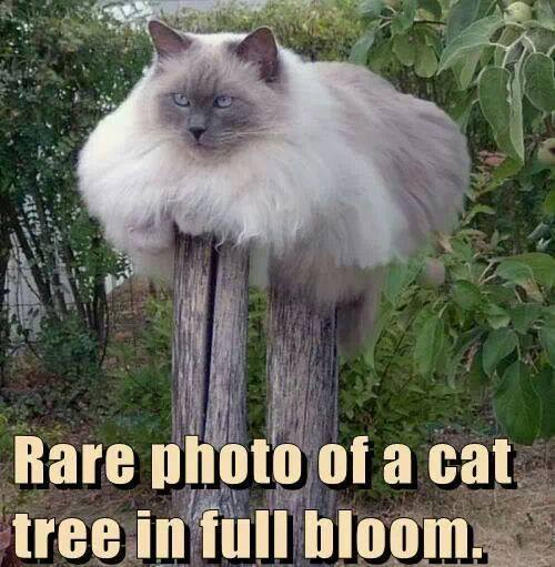 Cat tree in bloom